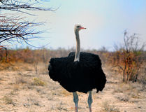 A lone male black ostrich in Etosha Royalty Free Stock Image