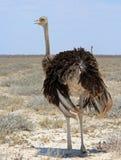 A lone male female ostrich in Etosha stock image