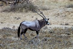 Lone male Gemsbok, Oryx gazelle kalahari Royalty Free Stock Image