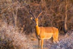 Impala Aepyceros Melampus looking at the camera at sunset in Dikhololo Game Reserve, South Africa. A lone male Impala Aepyceros Melampus looking at the camera at stock photography