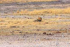 Lone male lion Stock Images