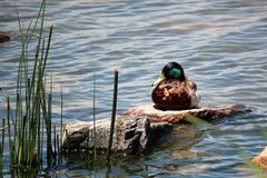 Lone Male Mallard Duck. Solitary Male Mallard duck resting on a rock on a pond taking a break Stock Images