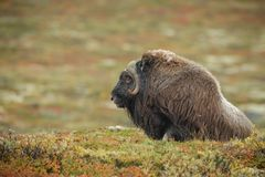 Lone male musk ox royalty free stock photos