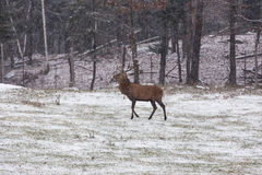 Lone male Wapiti in a snow field Royalty Free Stock Photos