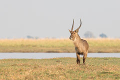 Lone male waterbuck. By river Stock Images