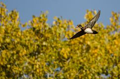 Lone Wood Duck Flying Past an Autumn Tree. Lone Male Wood Duck Flying Past an Autumn Tree Royalty Free Stock Images