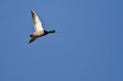 Lone Mallard Duck Flying in a Blue Sky. Lone Mallard Duck Flying in a Clear Blue Sky Stock Images