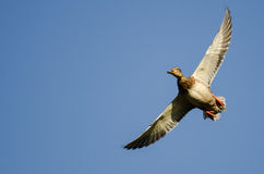 Lone Mallard Duck Flying in a Blue Sky Stock Images