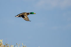 Lone Mallard Duck Flying in a Blue Sky. Male Mallard Duck Flying in a Blue Sky Stock Photos