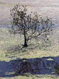 Lone Mangrove. In a algae covered water Stock Photos