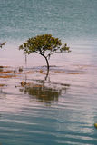 Lone Mangrove Tree. Growing in the sea water stock photography