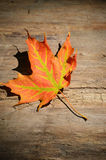 Lone Maple leaf on bark Royalty Free Stock Image