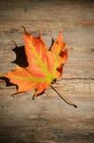 Lone Maple leaf on bark Royalty Free Stock Image