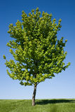Lone Maple Tree Royalty Free Stock Photos