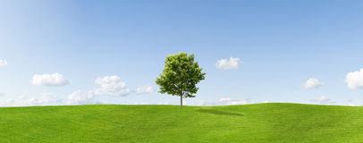 Lone maple tree in countryside Stock Image