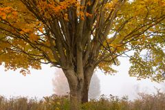 Lone maple tree during fall foliage, Stowe Vermont, USA. Lone maple tree in early morning fog during fall foliage season in Stowe Vermont, USA Stock Photo