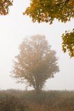 Lone maple tree during fall foliage, Stowe Vermont, USA Royalty Free Stock Photography