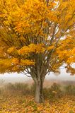 Lone maple tree on a foggy fall morning in Vermont, USA. Lone maple tree during fall foliage, Stowe Vermont, USA Stock Photo
