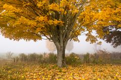 Lone maple tree on a foggy fall morning in Vermont, USA Royalty Free Stock Image