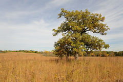 Lone maple tree on prairie Royalty Free Stock Photos
