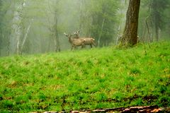 A lone a maral running around on the green grass in the fog Royalty Free Stock Photos