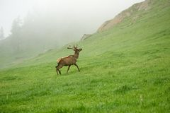 A lone a maral running around on the green grass in the fog Royalty Free Stock Images