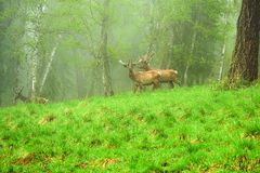 A lone a maral running around on the green grass in the fog Stock Images