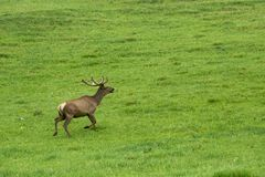 A lone a maral running around on the green grass in the fog Royalty Free Stock Image