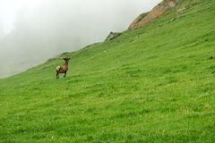 A lone a maral running around on the green grass in the fog Stock Photo