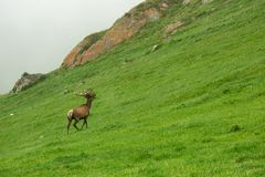 A lone a maral running around on the green grass in the fog Royalty Free Stock Photography