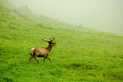 A lone a maral running around on the green grass in the fog Royalty Free Stock Photo