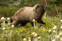 Lone Marmot. A lone marmot wandering through the flowers Stock Images