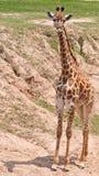lone masai för giraff Royaltyfri Fotografi