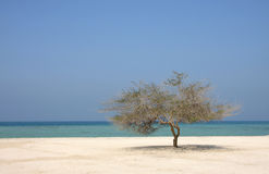 Lone mesquite tree in Al Jazair sea beach Bahrain Royalty Free Stock Image