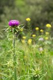 Lone purple flowering milk thistle (Silybum marianum). A solitary flowering milk thistle (Silybum marianum) amongst other yellow plants in royalty free stock images