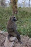 Lone monkey Stock Photo