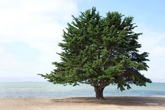 Lone Monterey Pine Tree on the beach. Monterey Pine Tree, a species of pine native to the Central Coast of California and Mexico, growing on the beach in Royalty Free Stock Photos