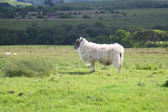 Lone moorland sheep in open field Royalty Free Stock Photo