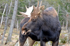 Lone Moose Royalty Free Stock Images