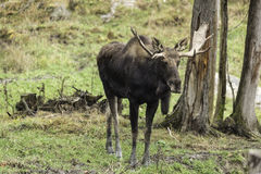 Lone moose in the woods Stock Photos
