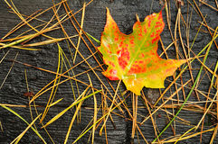A Lone Multicolored Maple Leaf Royalty Free Stock Photos