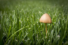 Lone Mushroom Royalty Free Stock Photography