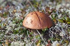 Lone mushroom in tundra among moss and grass Stock Photos