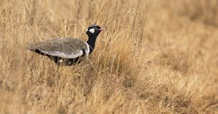 Lone northern black korhaan male sneaking though dry brown grass stock images