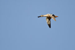 Lone Northern Shoveler Flying in a Blue Sky Royalty Free Stock Photos