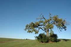 Lone Oak Stock Photography