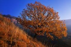 lone oak Arkivfoton