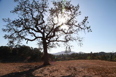 lone oak royaltyfria bilder