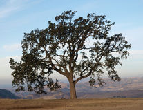 Lone Oak Chatsworth CA. Lone Oak tree with a view in Chatsworth California Stock Photography