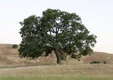 Lone Oak in a Golden Field. A Lone oak tree in a golden field of grass in rolling hills Stock Photos